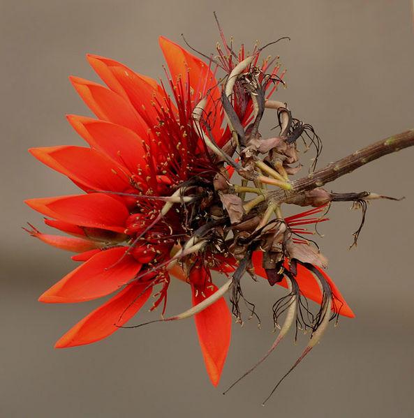 Deigo, the official flower of Okinawa Prefecture.