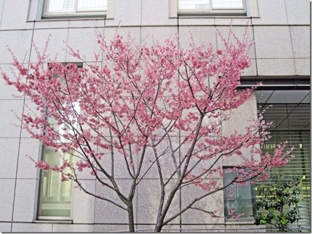 The next day, we went to a district just north of the Chuo line's Shinanomachi train station in central Tokyo.... 3 stops from the Shinjuku train station.  We were surprised to find on a side street in between two office buildings, a cherry blossom tree in full bloom.  I wondered why only this tree?