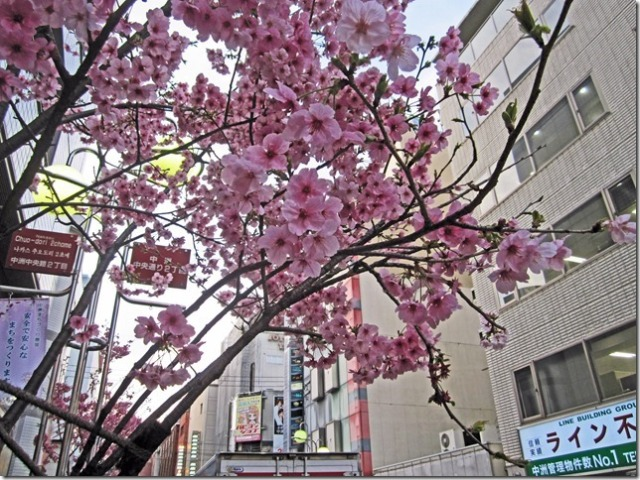 After checking in at our Dormy Inn hotel in Fukuoka, we walked down the main street to the Canal City shopping complex to look for a restaurante where we could eat dinner.  Lo and behold, along the way on a connecting side street, we came across some cherry blossom trees in full bloom.  They were beautiful!  Magnificent!  I went beserk with my camera.