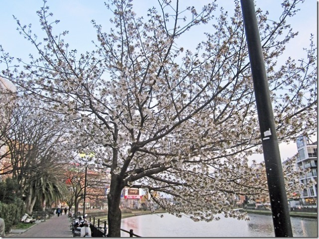 There were several white cherry blossom trees in bloom along the edge of the river.