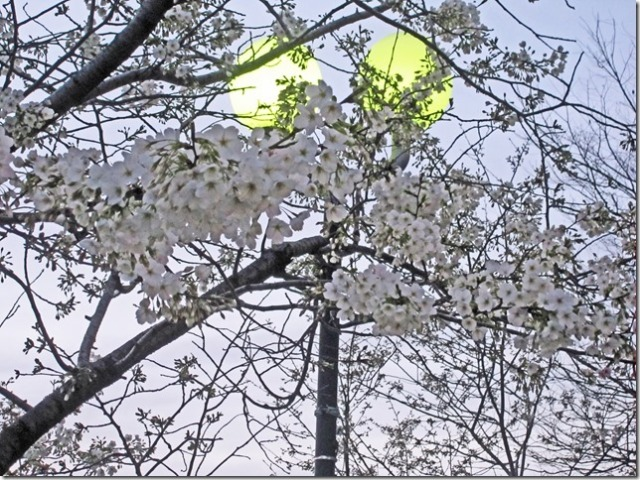 "I named this photo ""White cherry blossoms under the lamp light""."